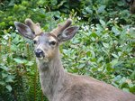 We saw many deer