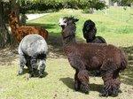 Alpaca farm along the way