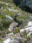 A Ptarmigan, an endangered bird that lives in the alpine