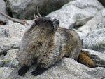 Fat marmot (photo: Warrick Whitehead)