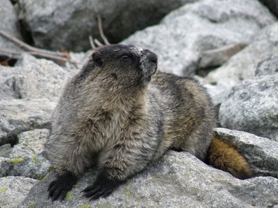 Fat Marmot (photo: Warrick Whitehead)