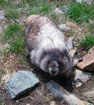 A well fed marmot