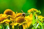 Making Sweetness. Honey bee at work outside of Würzburg, Germany. Photo: Lee Wasilenko