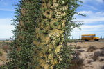 The spectacular Boojum Trees, endemic to Baja California, on a three week cycling touring trip. Photo: Gili Rosenberg