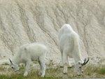 Mountain goats on the side of the road. It felt like a safari...