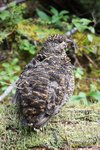 Grouse on a day trip to Kindersley-Sinclair col