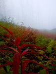 Foggy meadow of fireweed