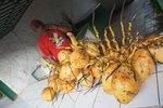 """Coconuts in the market of Santa Clara (these are """"cocos indios"""" or """"cocos de agua"""")"""