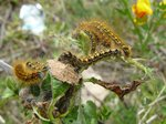 The tent caterpillars were taking over Salt Spring Island