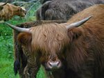 Highland Cattle, this guy needs a haircut