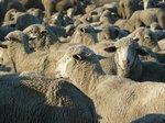 Sheep, sheep and more sheep