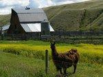 Llamas along the way