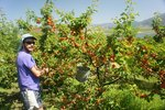 Picking apricots in Osoyoos