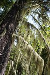 Old Man's Beard covered the trees