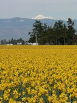 Daffodils and Mt. Baker
