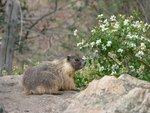 Marmot