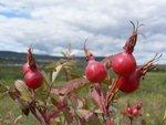 Pomegranates?