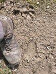 Bear footprint  + Coyote?