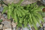 Sandra thought this plant might be a Maiden Hair Fern