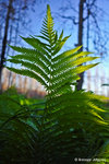 A fern captures the summer light filtering through the trees.Photo: Breanne Johnson