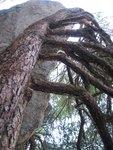 Pitch 4 tree