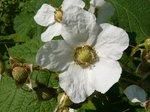 The Thimbleberry flower