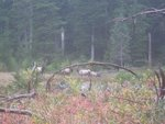 A herd of elk that visited us in the evening