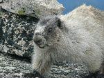 A marmot, perhaps too close for comfort, on the summit of Gimli Peak in Valhalla PP. Photo: Gili Rosenberg