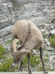 Mountain sheep, also on the side of the road