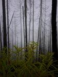 Fireweed understory