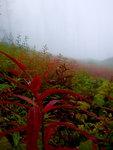 Foggy meadow of fireweed