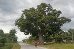 Another huge Ceiba tree