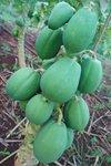 "Papayas, known as ""fruta bomba"" in Cuba"