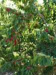 Laden cherry trees