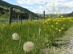 Dandelions along Campbell River Rd.