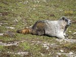 Marmot up close. Photo: Warrick Whitehead
