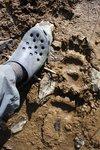 Bear print near camp
