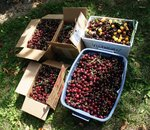 130lbs of cherries, a gift from our friends in Creston