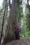 Huge old growth trees on the lower section of the Dewdney Trail