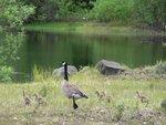 Candian Goose