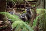 Raccoon Fam