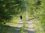 This bear didn't notice us and kept walking in our direction