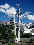 Pacific Crest Trail Tree
