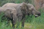 Elephants in the wetlands, Namibia