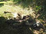 The dead Cougar in Squamish moments after it was shot. Apparently it attacked and killed a dog the day before