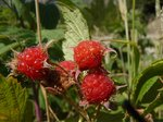 Wild Raspberries on the side of the logging road