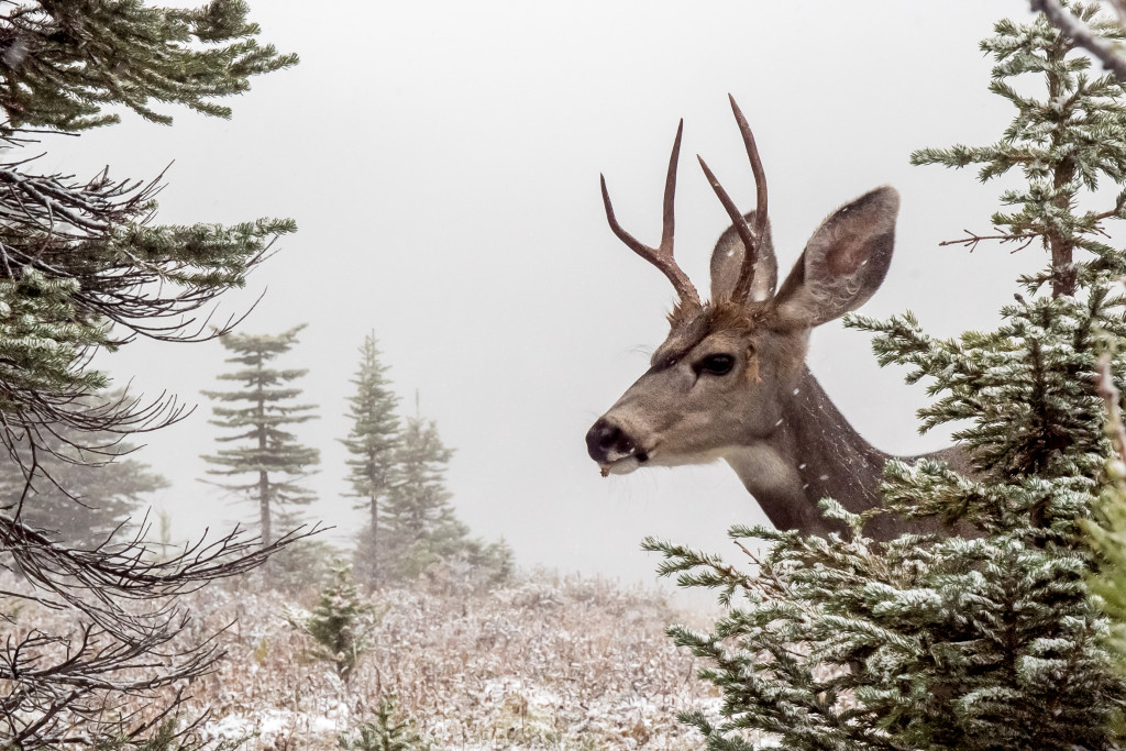Runner up: After an early September snowfall, a hungry deer eats quietly in Assiniboine Provincial Park. Photo by Nathan Starzynski