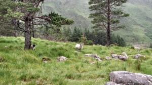 Sheep in the glen