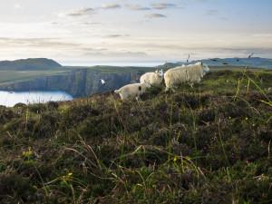 Waking up to fleeting sheep