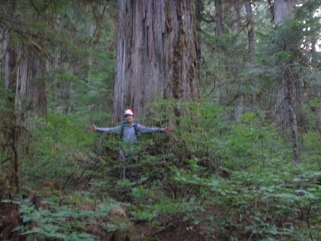 Big cedars!
